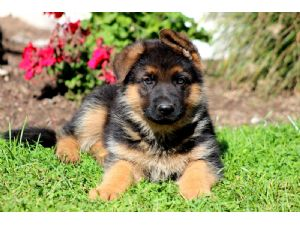 German shepherd puppies for sale in queens