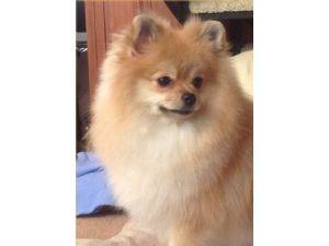 PomeranianFor Sale for sale