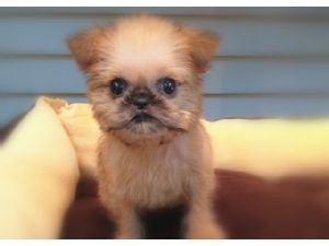 Brussels GriffonFor Sale for sale