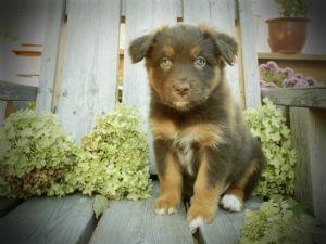 Australian ShepherdsFor Sale for sale