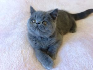 Exotic ShorthairFor Sale for sale