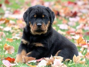 Rottweiler Puppies For Sale Rottweiler Puppies Available