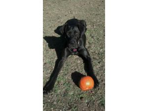 Mastiff Puppies For Sale English Mastiff X Great Dane Pups Born On