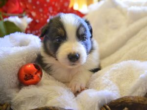 Miniature Australian ShepherdFor Sale for sale