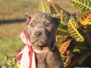 Cane Corso Italian MastiffFor Sale for sale