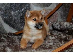 Shiba-InuFor Sale for sale