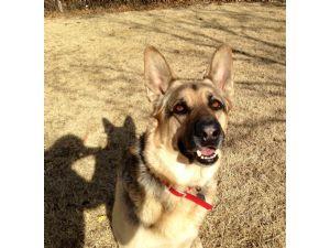 German Shepherd DogFor Sale stud