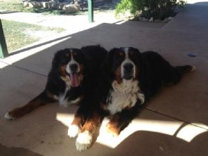 Bernese Mountain DogFor Sale stud