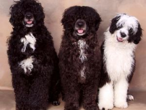 Portuguese Water DogFor Sale for sale