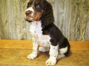 English Springer Spaniel Puppies For Sale: English Springer