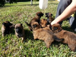 Belgian MalinoisFor Sale for sale