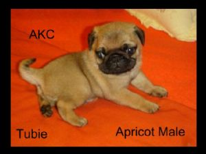 PugFor Sale for sale