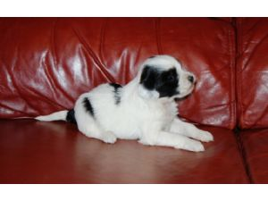Tibetan TerrierFor Sale for sale