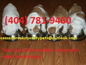 BulldogFor Sale for sale