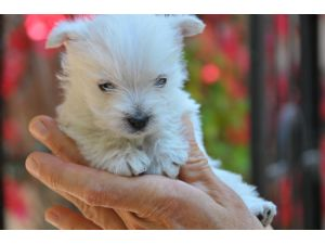 West Highland White Terrier Puppies For Sale: WESTIE PUPPIES