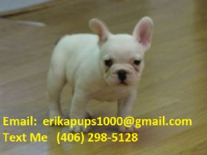 French BulldogFor Sale for sale