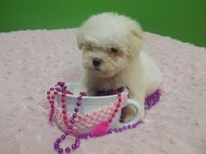 Bichon FriseFor Sale for sale
