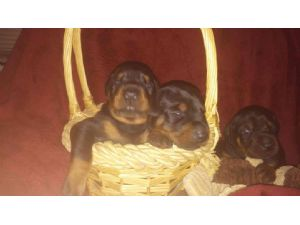 Doberman PinscherFor Sale for sale