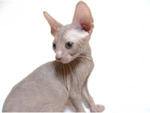 SphynxFor Sale for sale