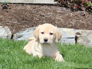 Labrador Retriever Puppies For Sale: Labrador Puppies - All
