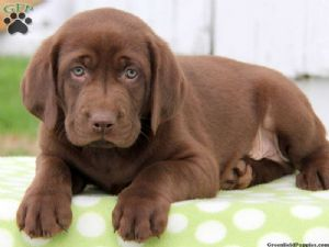 Labrador Retriever Puppies For Sale Labrador Puppies All Colors
