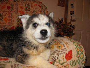Siberian HuskyFor Sale for sale