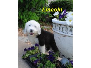 Old English SheepdogFor Sale for sale