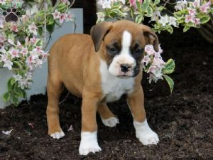 Boxers Puppies For Sale Boxer Pups