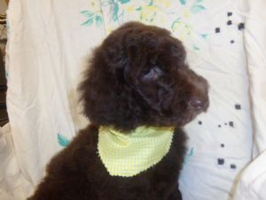 Standard Poodle Breed Information Pictures