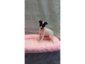 Jack Russell TerrierFor Sale for sale