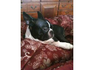 Boston TerrierFor Sale stud