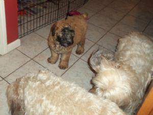 Soft Coated Wheaten TerriersFor Sale for sale