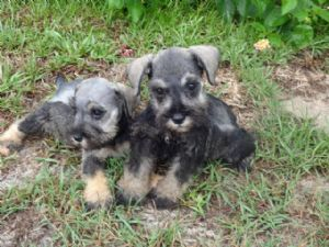 puppies for sale