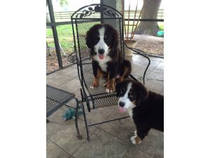 Bernese Mountain DogFor Sale for sale