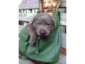 Labrador RetrieverFor Sale for sale