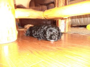 Cocker SpanielFor Sale for sale