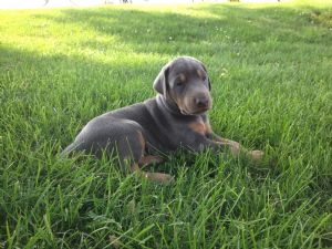 Doberman Pinscher Puppies For Sale Akc Red Blue And Fawn Male And