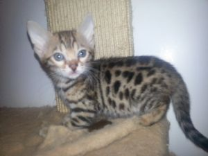 BengalFor Sale for sale