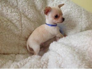 Micro Teacup Chihuahua Ad Posted On 9 28 2017 Is Expired