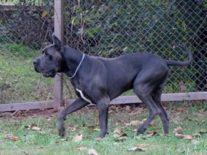 Great Dane Puppies For Sale: Blue 100% European Great danes