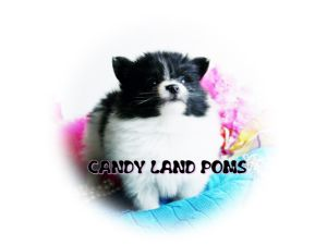 Cool Pomeranian Puppies For Sale Look Teddy Bear Pomeranian Teacup Short Hairstyles Gunalazisus