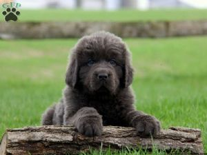 Newfoundland Puppies For Sale Newfoundland Puppies