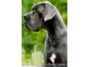Great Dane Puppies For Sale Champion Sired 100 European Great Danes