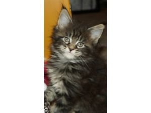 Maine Coon Puppies For Sale Maine Coon Kittens For Sale