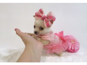 Chihuahua Puppies For Sale: Micro Tiny Teacups Here~~