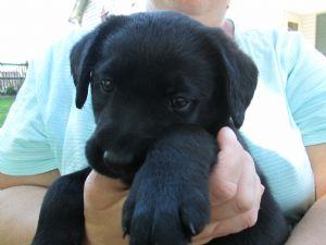 Black lab puppies in lancaster pa