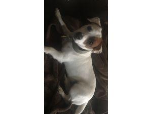 Jack Russell TerrierFor Sale stud