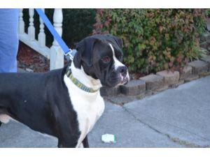 Image Result For Boxer Puppies For Sale West Palm Beach Fl