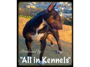 Miniature Bull Terrier Breed Information & Pictures (English