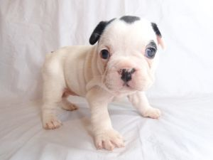 French Bulldog Puppies For Sale: Cummings French Bulldogs